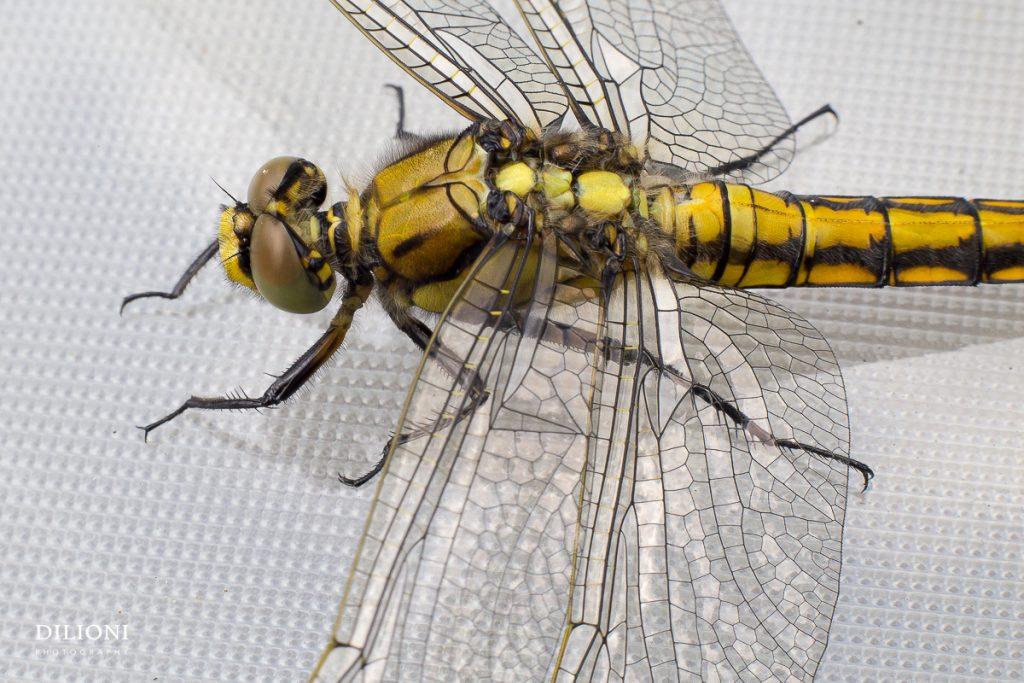 Dragonbfly